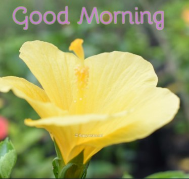 Good Morning Wishes With Yellow Flower Image