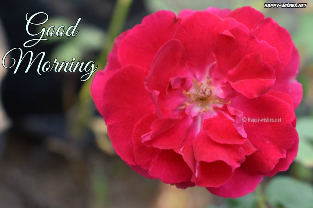 Good Morning Wishes with Red flower in Background images