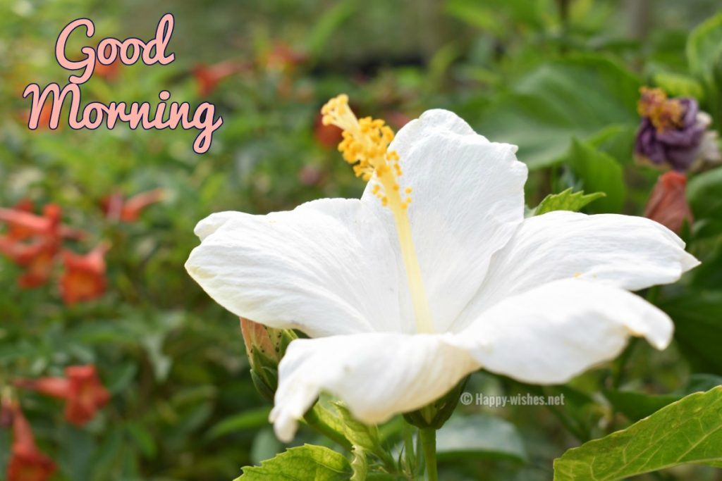 Good Morning Wishes with white flower images
