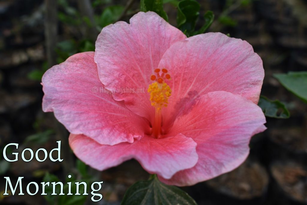 Good Morning wishes with Flower images