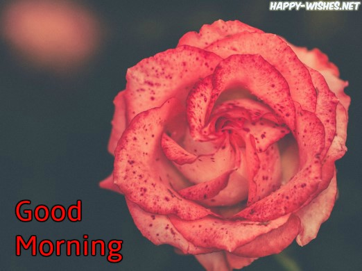 50 Good Morning Wishes With Rose Picture