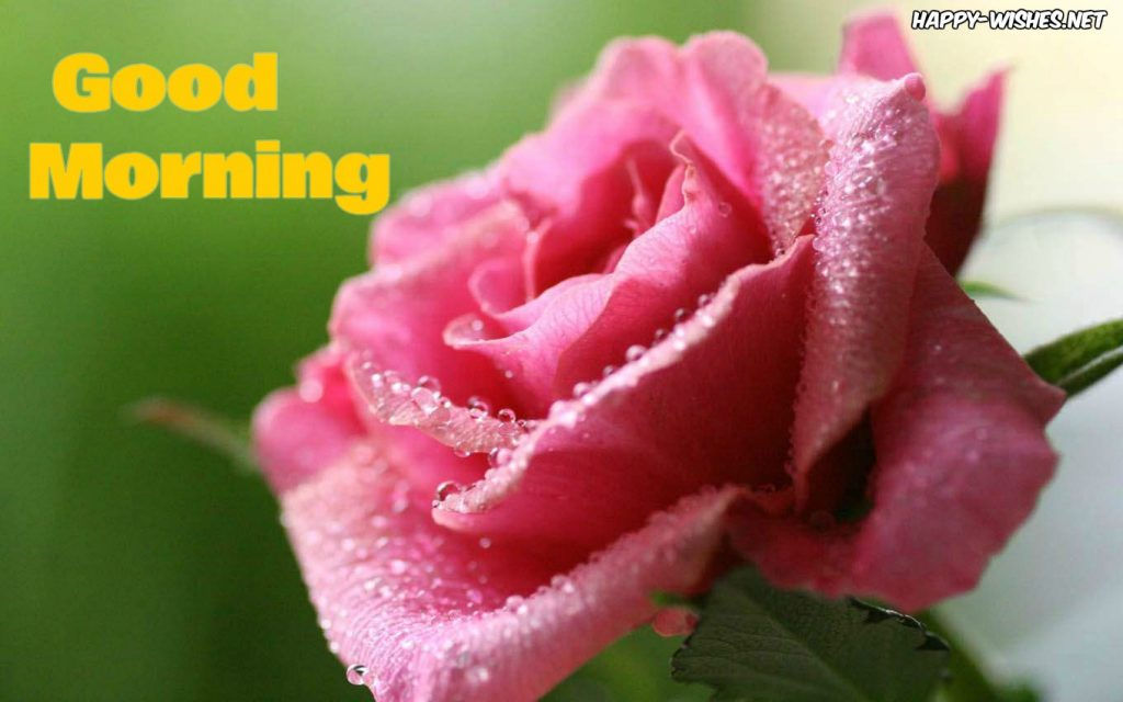 Good Morning Wishes With Rose Pictures and images
