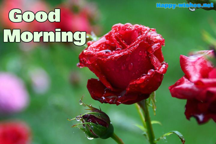 Good Morning Wishes With Wet Rose Pictures
