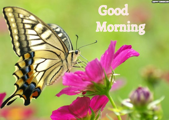 Good Morning wishes with Butterfly Pictures