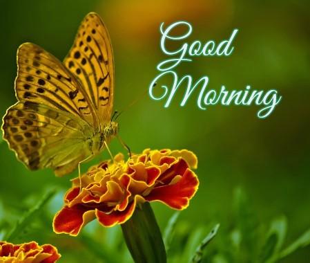 Orange Good Morning Butter fly images
