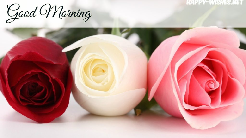 Red white and Pink Rose In Good morning images