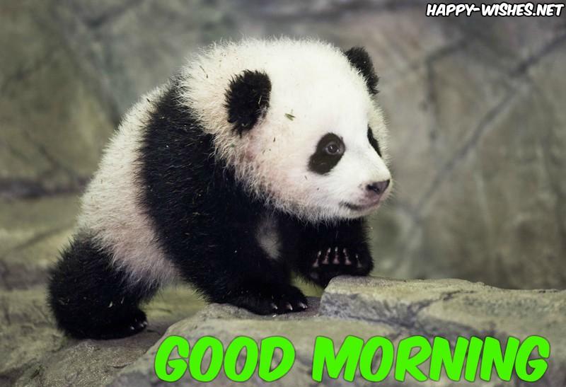 Baby Panda images