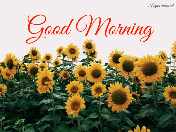Good Morning Wishes with Sunflower Images