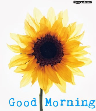 Sunflower Images with white background images